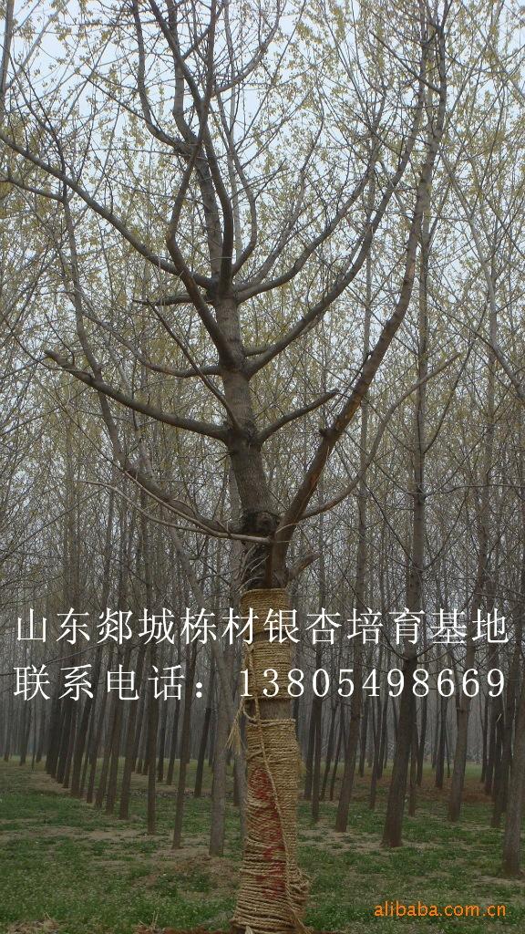 基地大量供应银杏树 银杏苗木30公分
