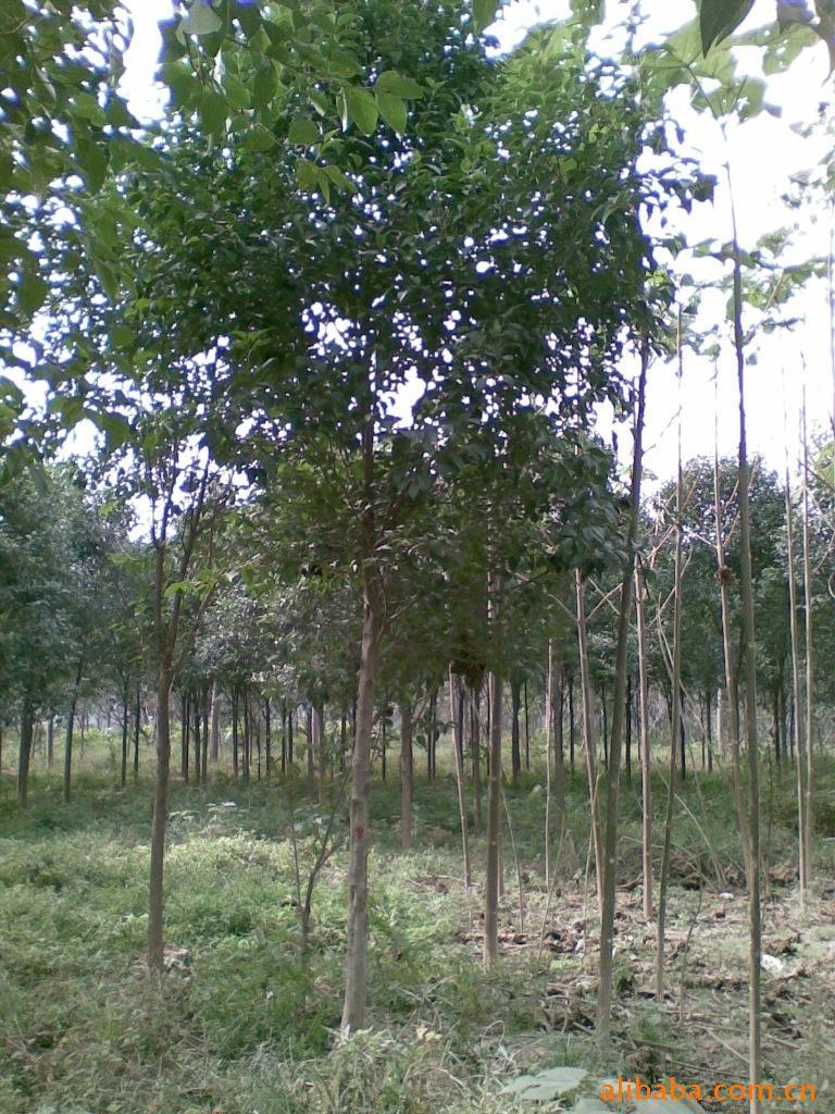 黄山栾树苗2米高