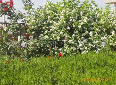 供应——蔷薇,蔷薇苗。灌木,绿化苗木-花卉