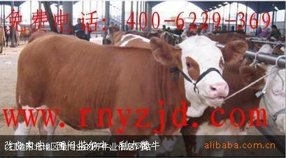 肉牛牛羊养殖效益分析 急售6000头肉牛牛羊 免费提供养殖技术