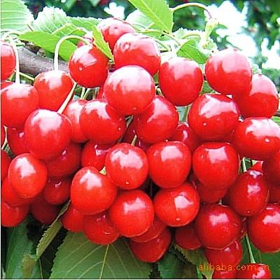 出售优质樱桃种子,山东樱桃种子,青岛樱桃种子