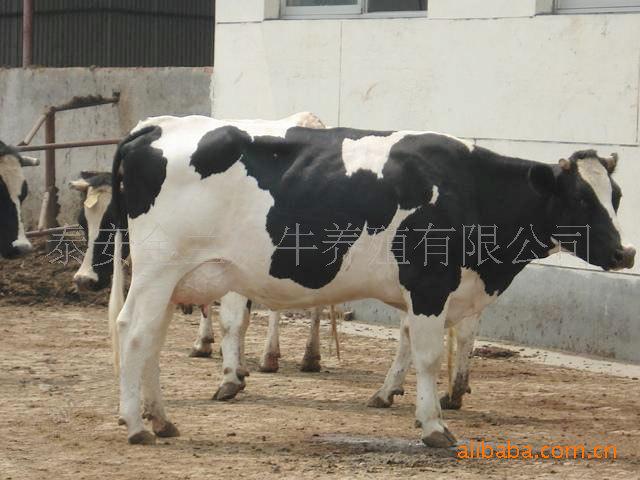 供应荷斯坦奶牛供养殖用