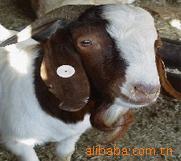 农村创业快致富 养殖肉羊是财路 育肥肉羊种苗 免费送货产品回收
