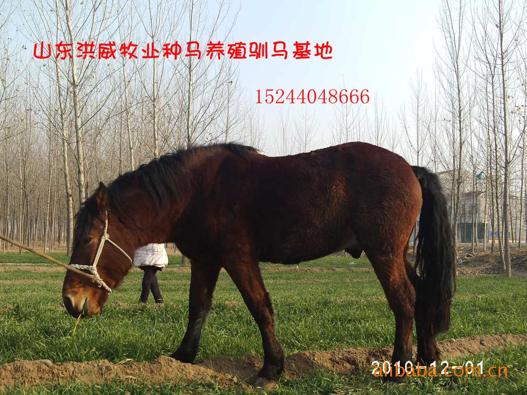 伊犁马的价格 马的养殖技术  马饲养的正确方法