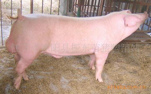 出售长白双脊背瘦肉型仔猪