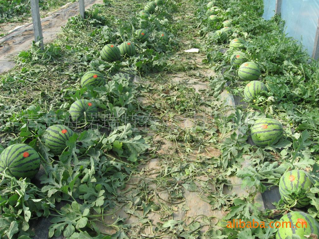 供应【高品质】【高产】【冠军】西瓜种子
