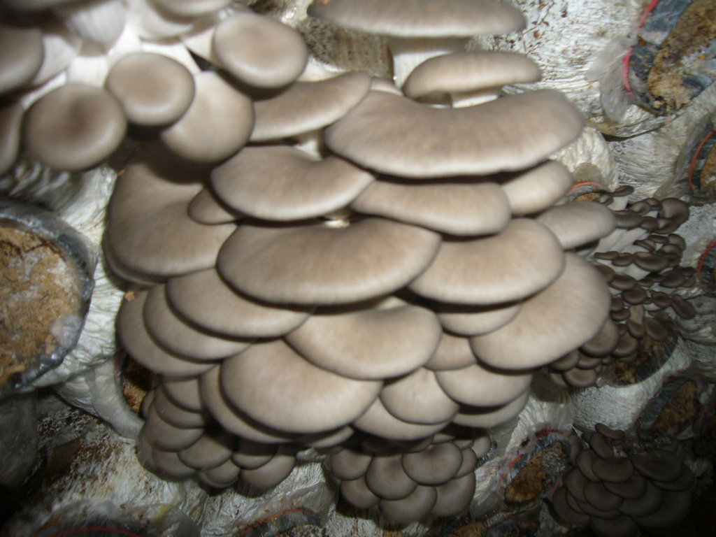 供应高产优质平菇菌棒
