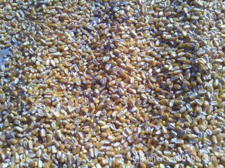 供应 优质 东北 玉米