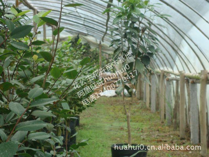 花卉种子种苗盆景风景树花木花苗园林绿化苗木苗圃 金花茶