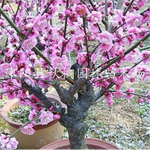 常年供应观赏类梅花 红梅 绿梅 腊梅大小规格苗都有售 量大批发