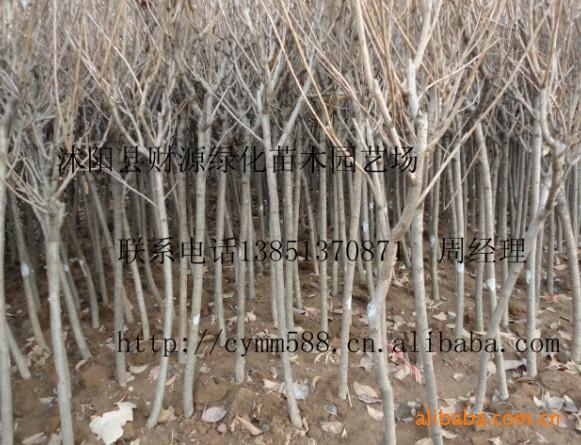 大量供应:3-8公分樱花,沭阳财源绿化苗木园艺场