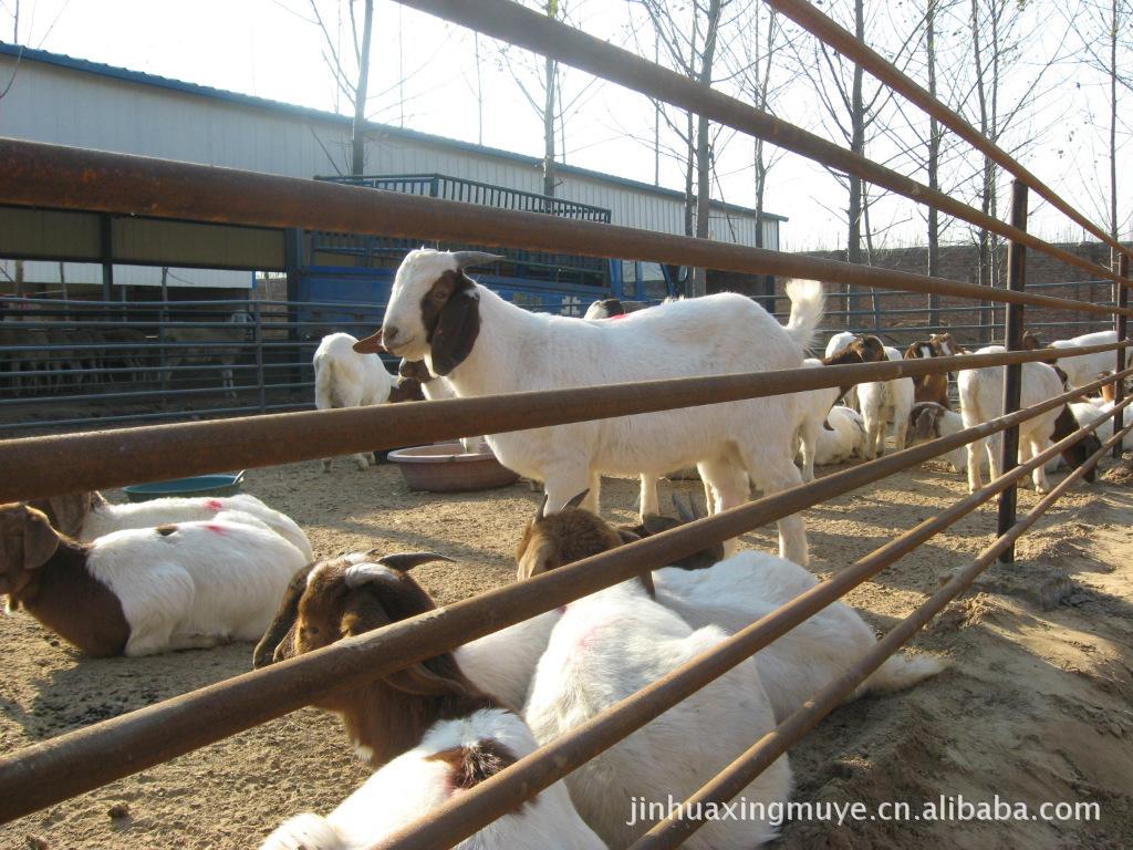 出售杜泊绵羊,小尾寒羊,波尔山羊,成本低见效快
