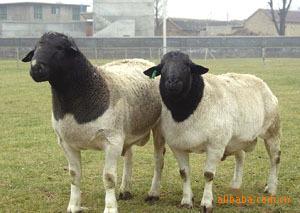 肉羊品种迪庆种羊肉羊养殖山东旺达牧业肉羊价格