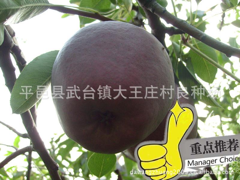 供应果树苗木  黑色果品  意大利黑梨