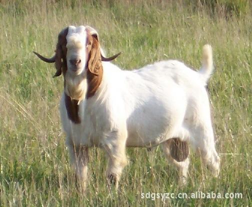 肉羊育肥羊繁殖羊小山羊波尔山羊肉羊效益分析 肉羊品种
