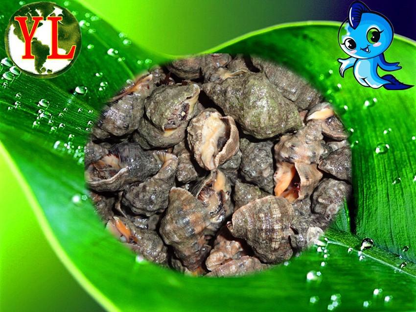 海鲜-东港利源海鲜水产批发商行 供应优质 黄金牛螺 随市价变动