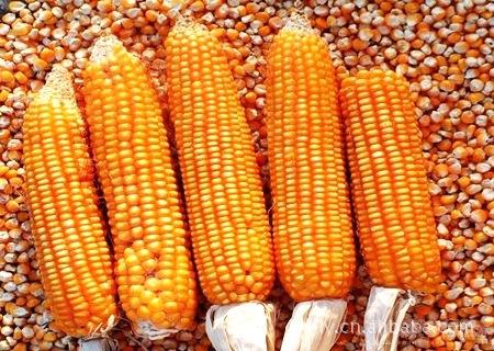 厂家直销,高质量,优质东北黄玉米