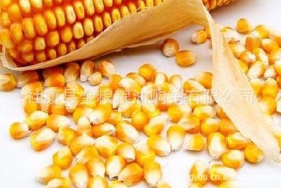 河南社旗县金粮粮油购销有限公司优质黄玉米