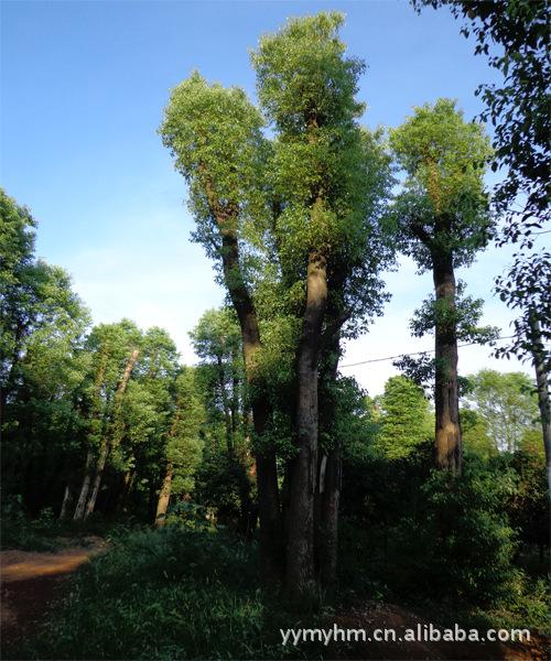 香樟树直销_益阳茗园花木基地