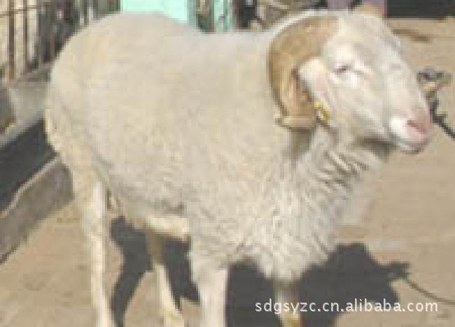 优良肉羊波尔山羊/纯种波尔山羊种羊苗/肉羊养殖技术