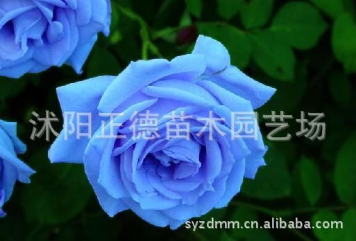 日本进口 蓝色妖姬玫瑰种子 玫瑰苗 蓝玫瑰 纯种蓝玫瑰 货真价实