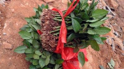 供应  云南优质玫瑰苗 卡罗拉 法国红 黑魔术 基地直销