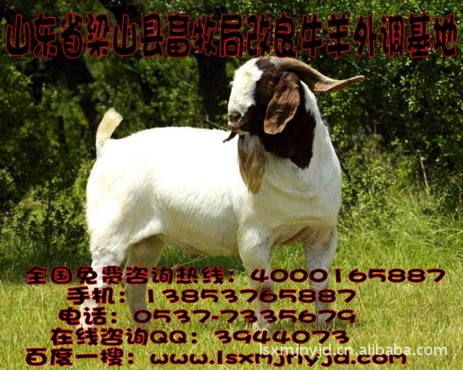 大量供应纯种波尔山羊 畜牧局急售优质品种