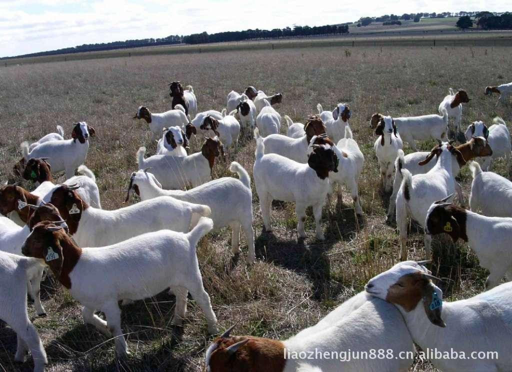 【种羊最佳品种】山羊/山羊肉/山羊苗/山羊种羊/种山羊/山羊养殖