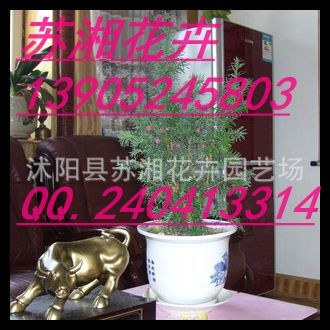 江苏红豆杉种子-紫穗槐种子