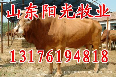山东鲁西黄牛养殖,济宁西门塔尔牛供应