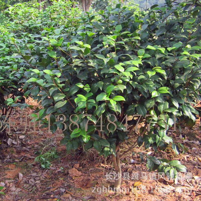 湖南茶花树 茶花树自育湖南茶花树品种齐全价格实惠成活率高 阿里巴巴