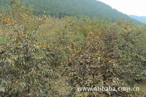 山楂树 杏树 樱桃树 板栗 核桃树 马尾松出售图片