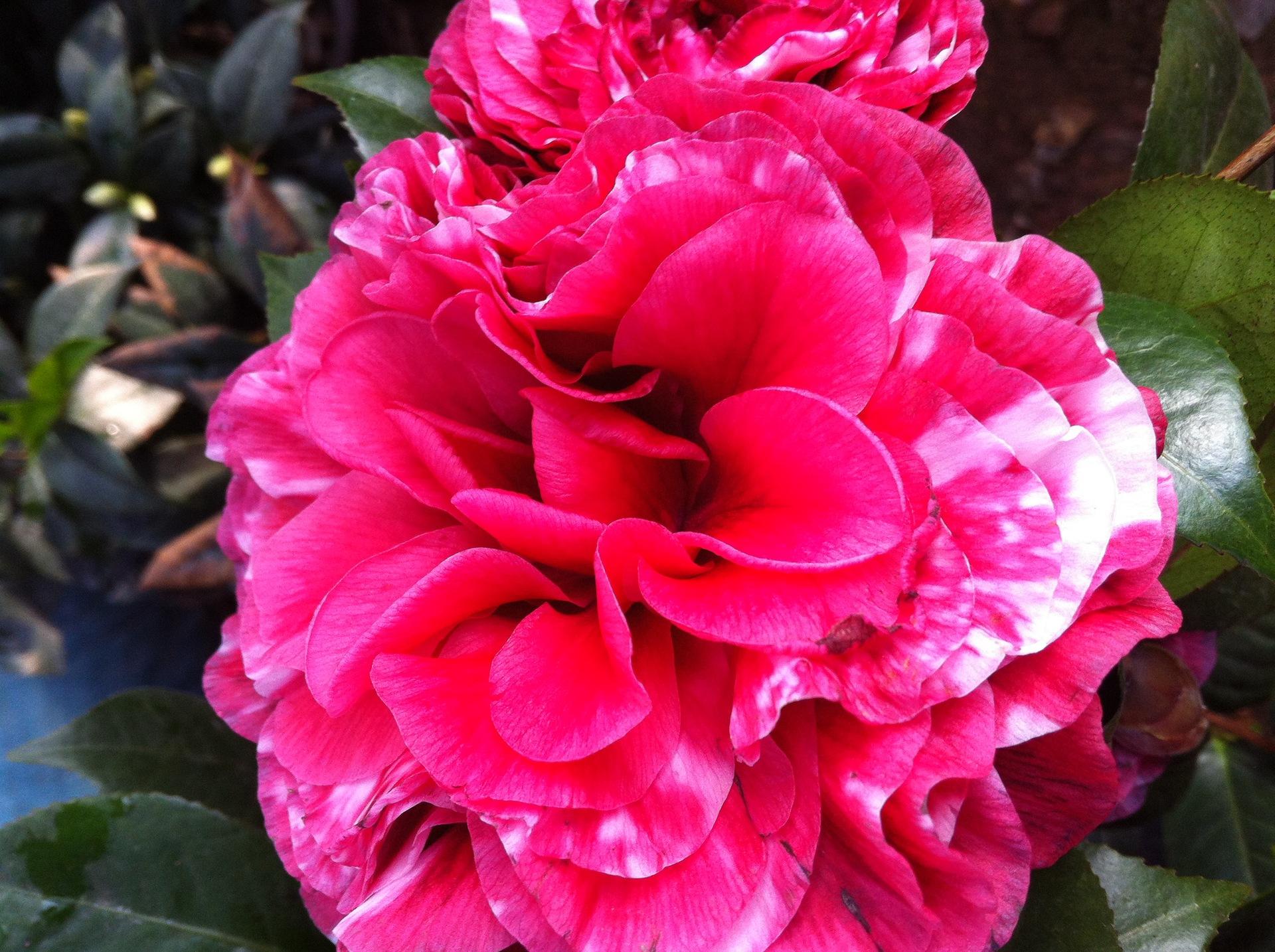 花卉精品 奇异茶花 红叶贝拉茶花 紫叶贝拉 批发图片
