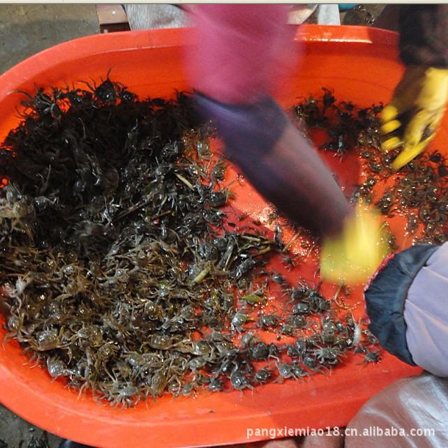 【【大量v专业】专业螃蟹苗大规模视频苗苏州螃蟹帽沿图片