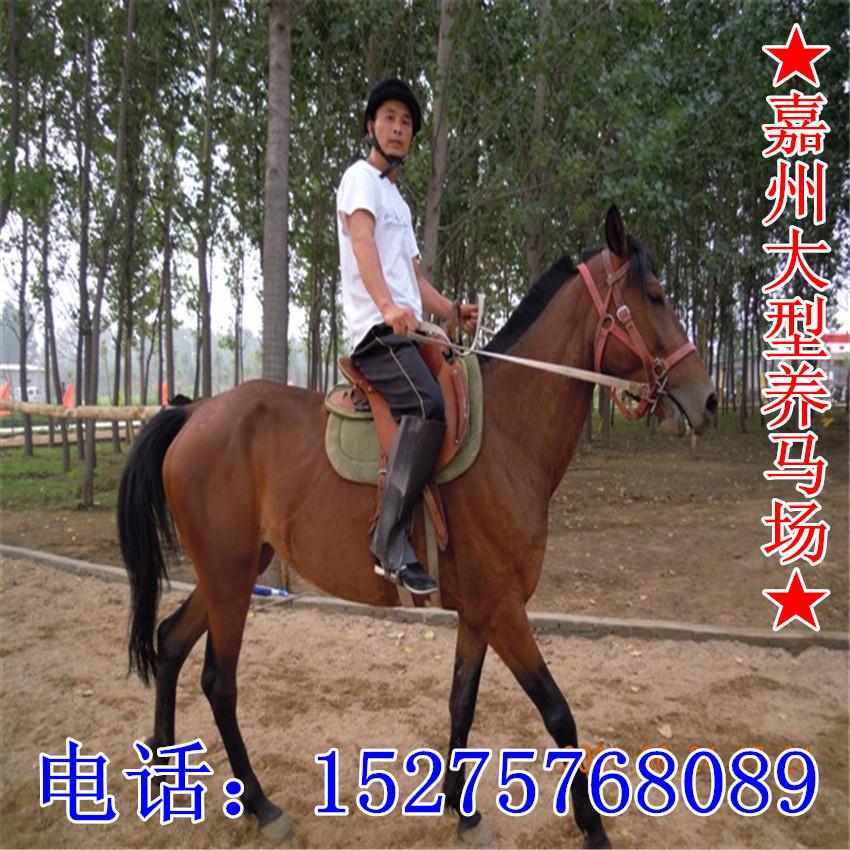 【乘骑马训练技术 马驹子价格图片
