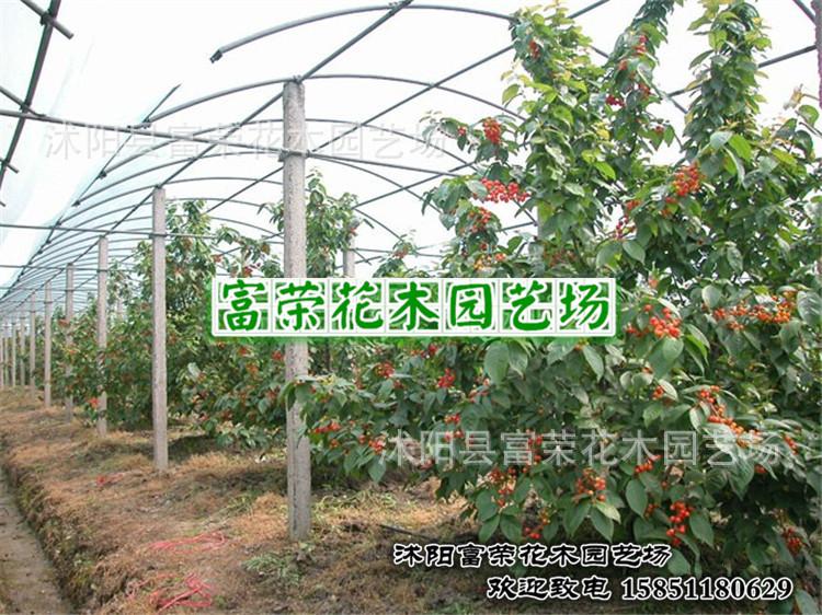 红缨一号樱桃苗 直销果树苗 樱桃树苗一号 樱桃苗 南北方适应可盆栽 图片
