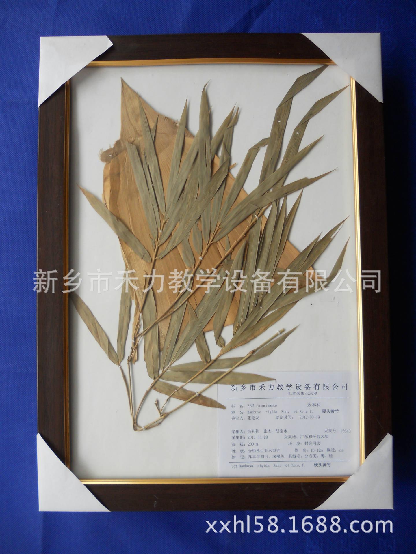 腊叶标本干制标本植物标本硬头黄竹