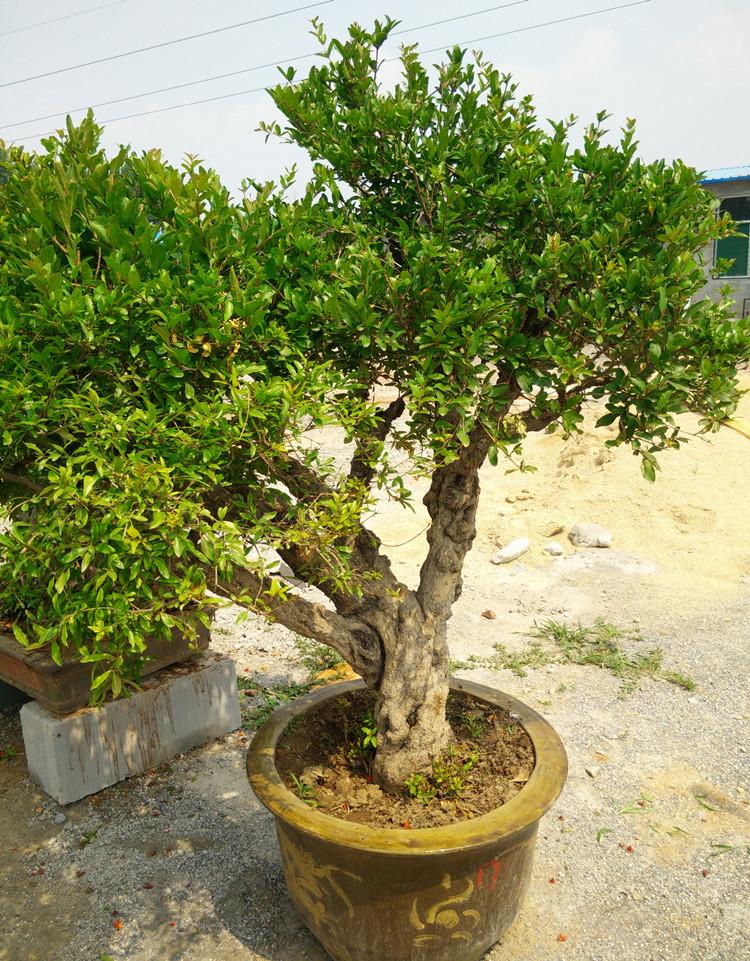 原盆老根石榴盆景 百年盆栽精品造型 红花挂果 高档绿植A14302 -盆景