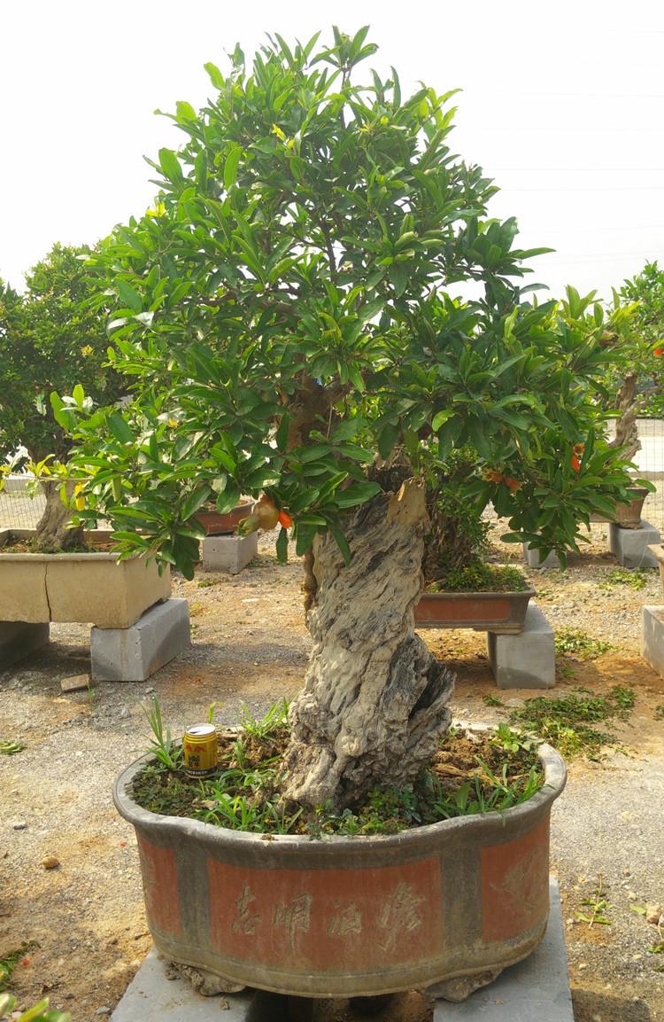 应原盆老根 大石榴树桩 石榴盆景 园林植物 优良品种大师作品A14304
