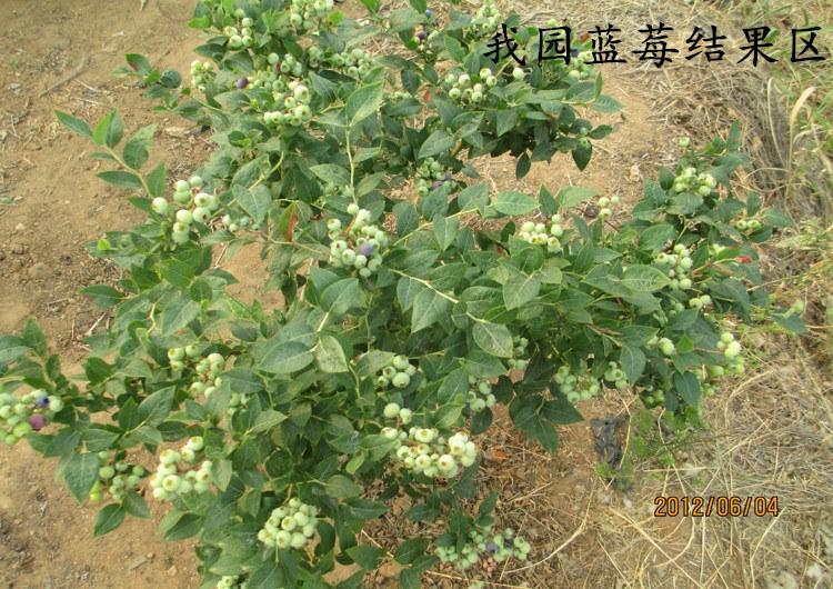 蓝莓树苗 盆栽地栽蓝莓苗 兔眼蓝莓树苗 南方北方蓝莓3年带原土发货