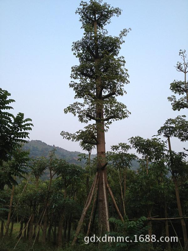 广东省普宁本地木棉直销绿化苗木 乔木灌木绿化工程用苗