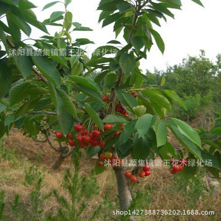 大樱桃苗 樱桃树苗智利嫁接大庭院南北方盆栽地栽种植 阿里巴巴图片