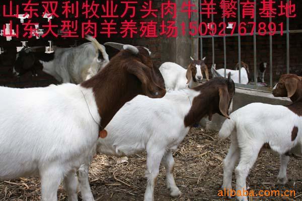山东双利牧业肉羊养殖繁育场 供应改良波尔山羊羊羔 繁殖母羊种羊