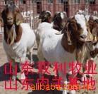 农村创业致富不必经商 养殖改良肉羊奔小康 肉羊养殖技术育肥利润