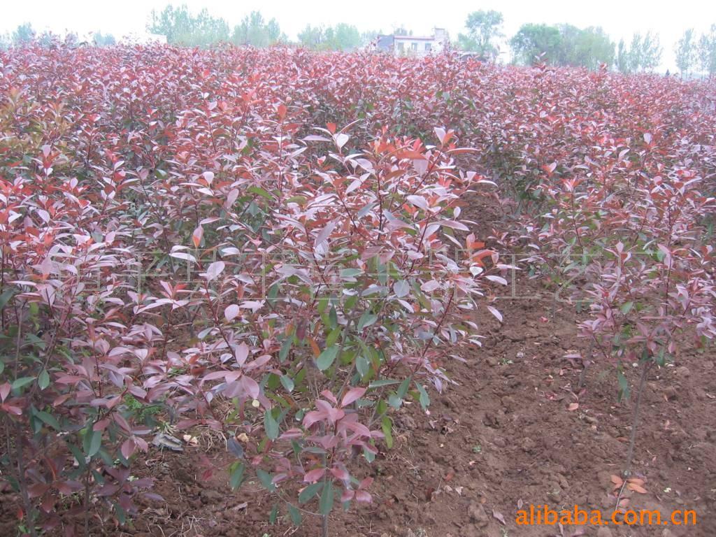 扒门将军,巨紫荆,红叶石楠,杜鹃,红豆杉苗木