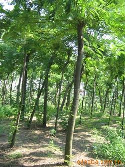 供应各种绿化苗木     合欢树